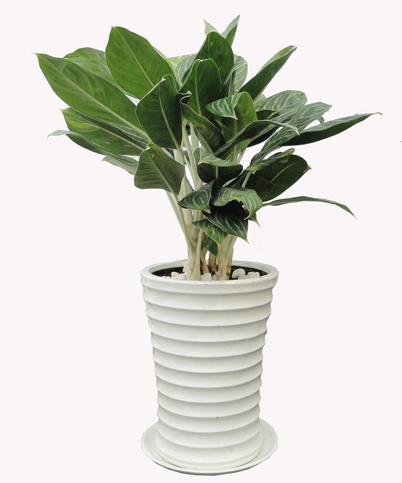 Bạch Mã Hoàng Tử là loại cây của sự cao sang