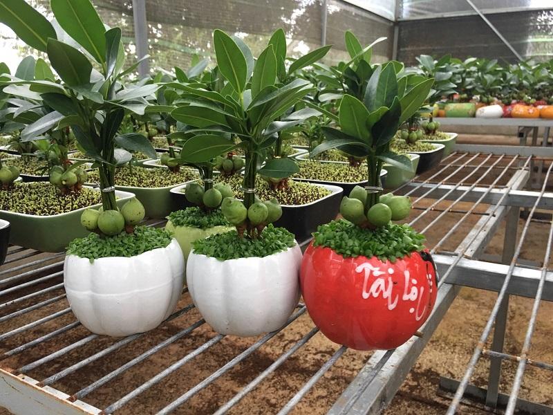 Cây Tài Lộc rất thích hợp trồng trong phòng khách